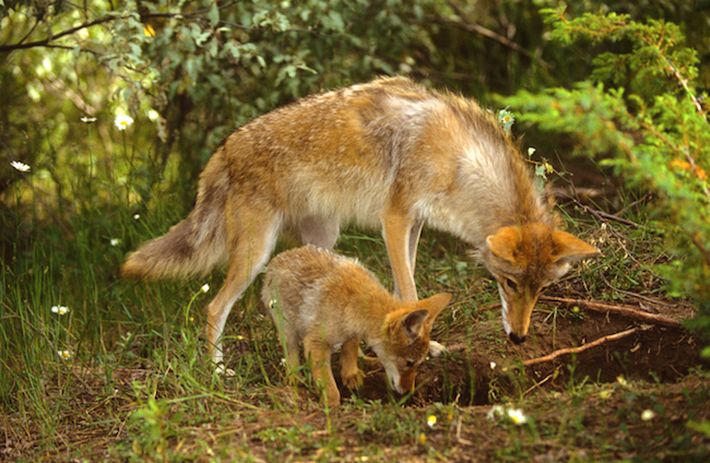 Coyote_pup