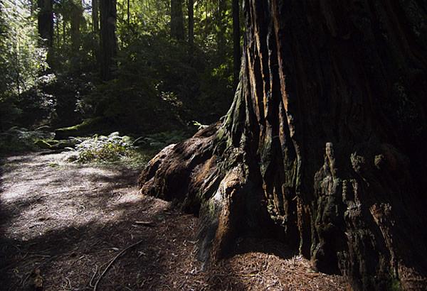 Redwood01fw